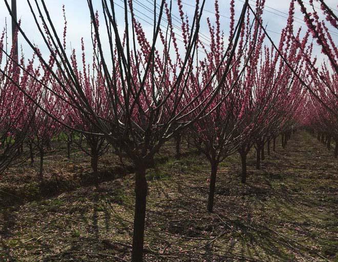 8公分红梅种植基地