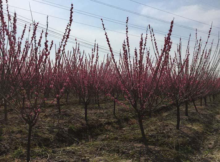 3公分红梅种植基地