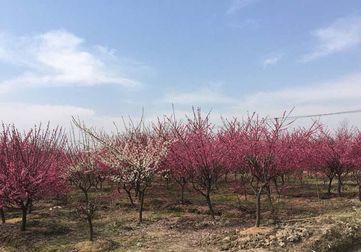 5公分红梅树种植基地