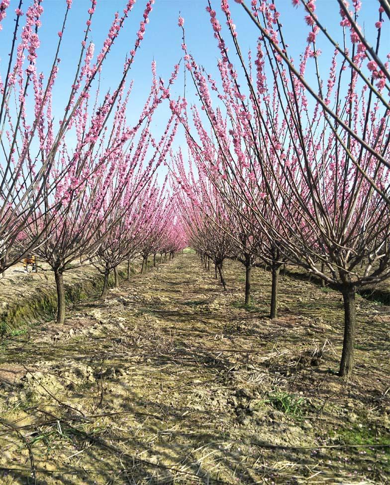 10公分红梅树种植基地