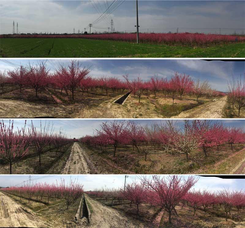 长兴红梅树种植批发供应基地