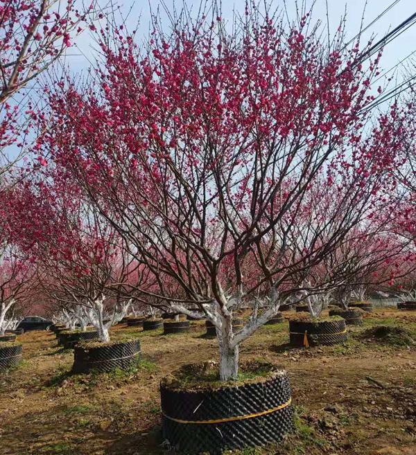 自家红梅树